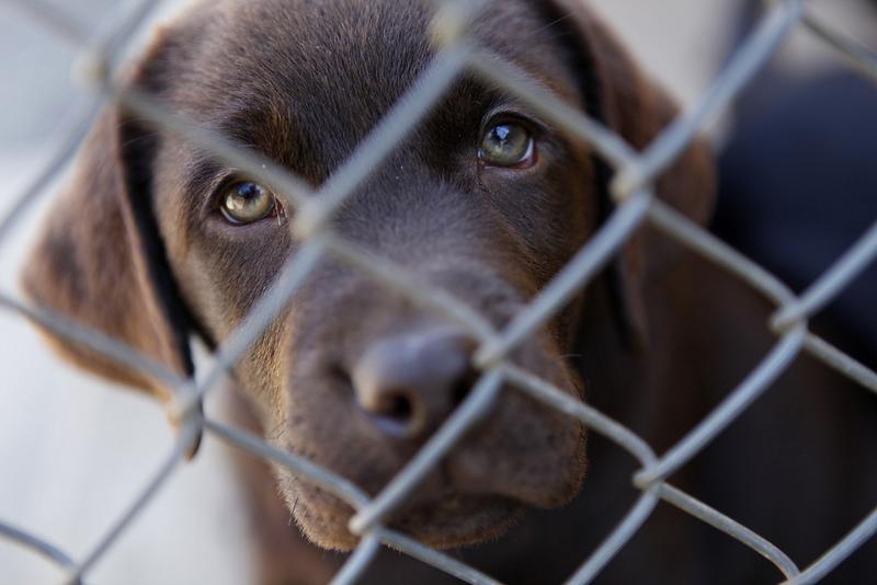Cãozinho labrador chocolate, na fase inicial para ser um guia